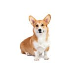 Petland Lewis Center Pembroke Welsh Corgi