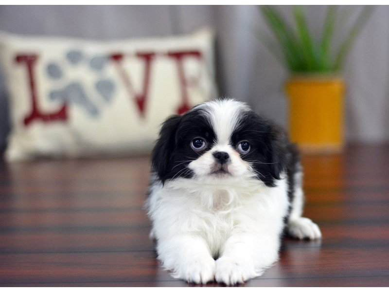 Japanese Chin-Male-Black / White-1740191-Petland Lewis Center