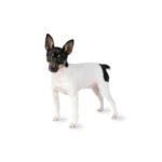 Petland Lewis Center Toy Fox Terrier