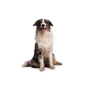 austrailian shepher puppy in white background