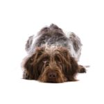 Petland Lewis Center German Wirehaired Pointer