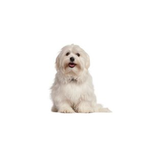 maltese puppy on white background