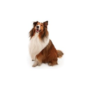 Shetland Sheepdog Breed Info Sheltie Puppies For Sale
