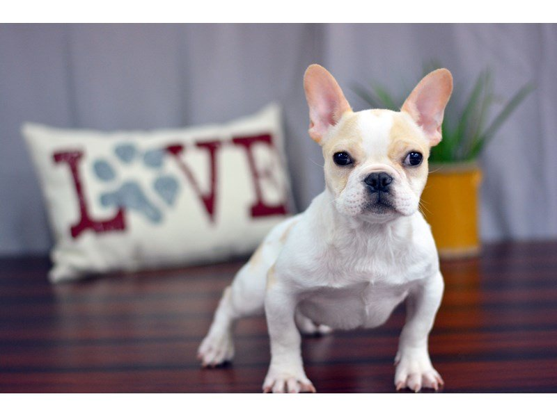 French Bulldog Dog Male Cr Pbld 1701308 Petland Lewis Center