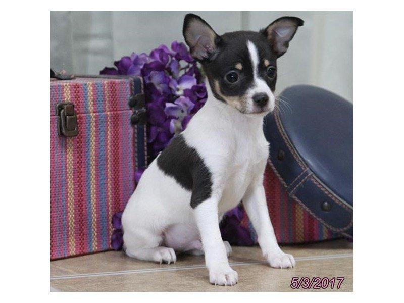 Rat Terrier-Male-Black White / Tan-1793361-Petland Lewis Center