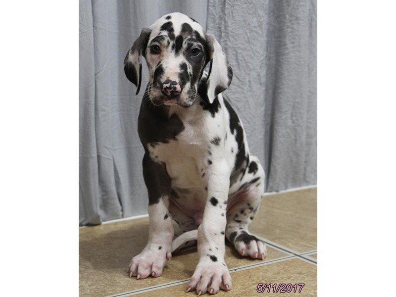 Great Dane-DOG-Male-Merlequin-1798360-Petland Lewis Center