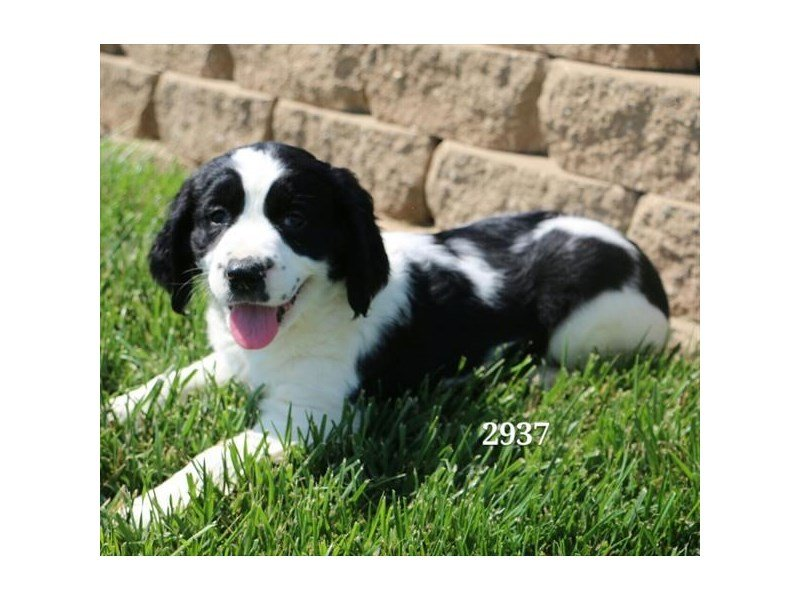 English Springer Spaniel Puppies - Petland Lewis Center