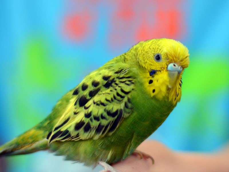 Green Parakeet Male Or Female