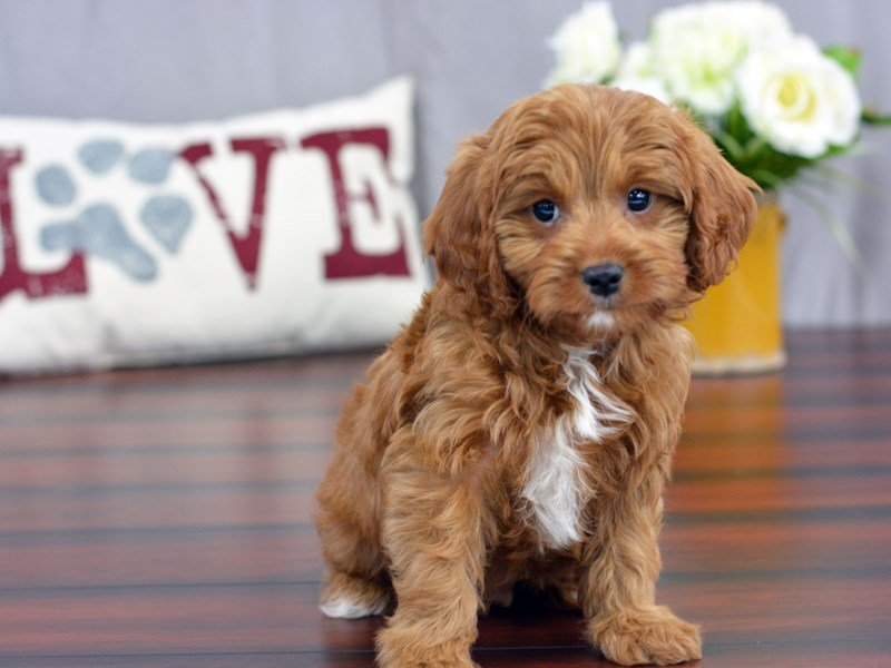 Cavapoo-DOG-Male-Brown-1834804-Petland Lewis Center