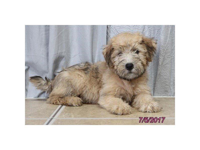 Soft Coated Wheaten Terrier Dog Female 1840524