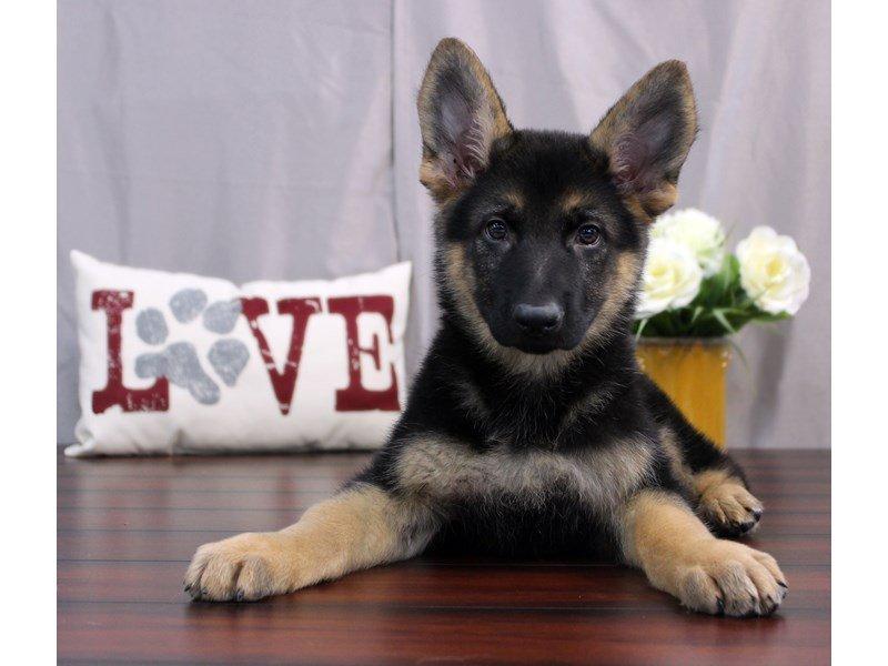Female Black Tan German Shepherd Dog Gallery Petland Lewis Center