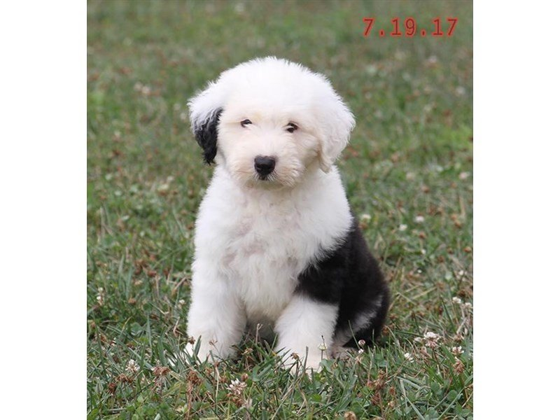 Old English Sheepdog-Female-Black / White-1850805-Petland Lewis Center