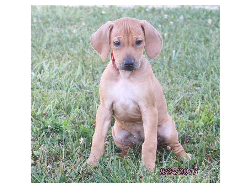Rhodesian Ridgeback-Female-Red-1878108-Petland Lewis Center