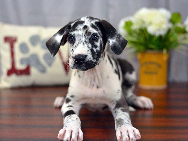 Great Dane-DOG-Male-Merlequin-1899468-Petland Lewis Center