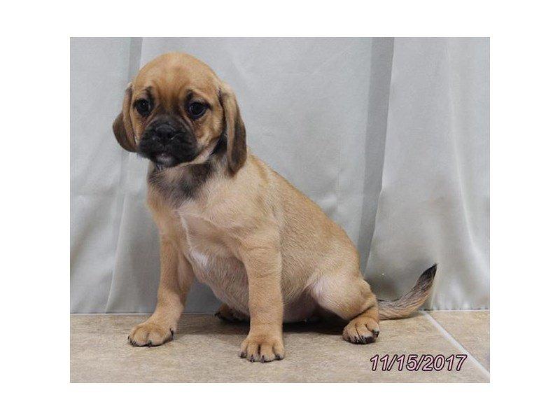 Puggle-DOG-Female-Fawn-1949904-Petland Lewis Center