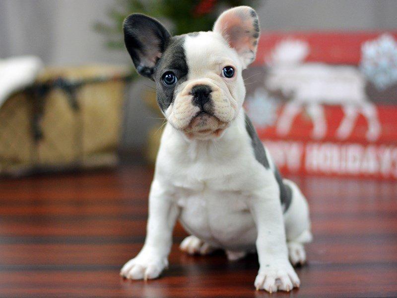 French Bulldog Dog Male Bl Wh Pbld 1959418 Petland Lewis Center