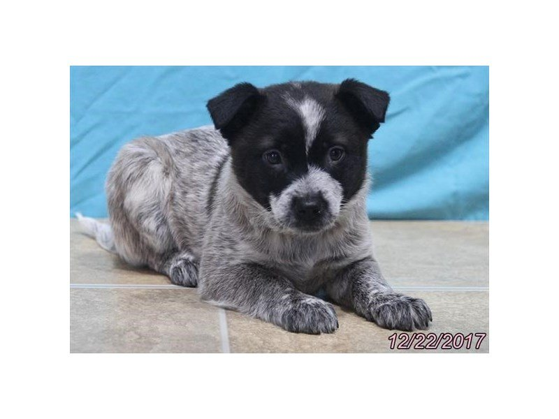 Australian Cattle Dog-Female-Black / White-1973327-Petland Lewis Center
