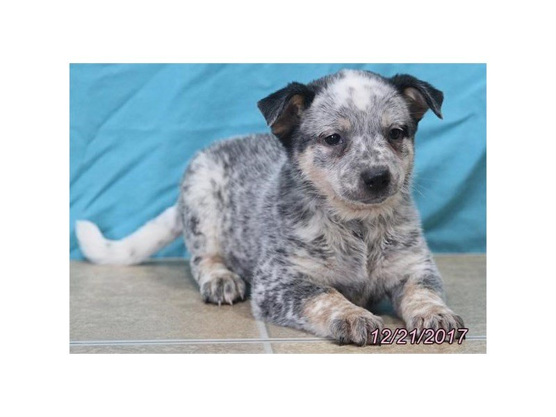 Australian Cattle Dog-Female-Blue Mottled-1973336-Petland Lewis Center