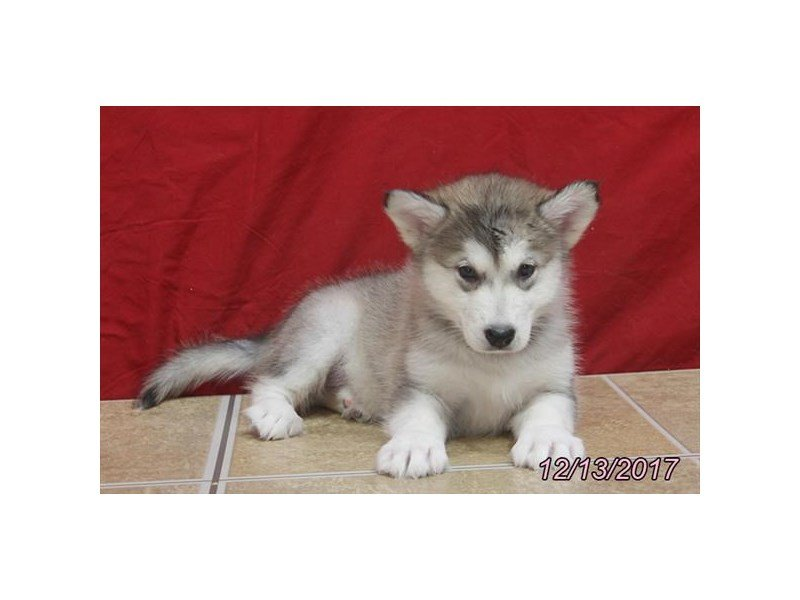Alaskan Malamute-Female-Sable / White-1967979-Petland Lewis Center