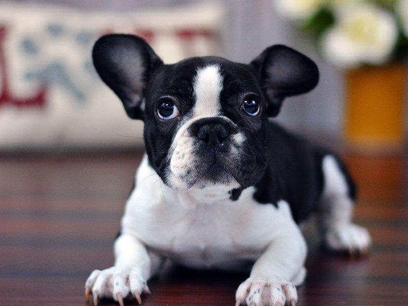 French Bulldog Dog Female Blk Wh Pbld 1959424 Petland Lewis Center