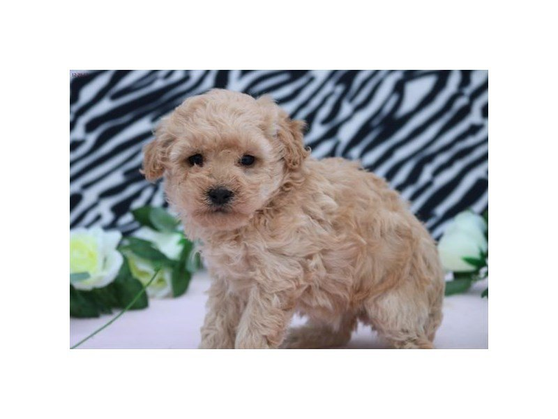 Miniature Poodle-Female-bf-1994717-Petland Lewis Center