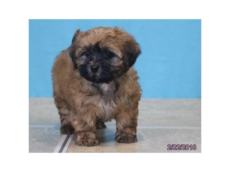 Shih Poo-Male-Black-2020493-Petland Lewis Center