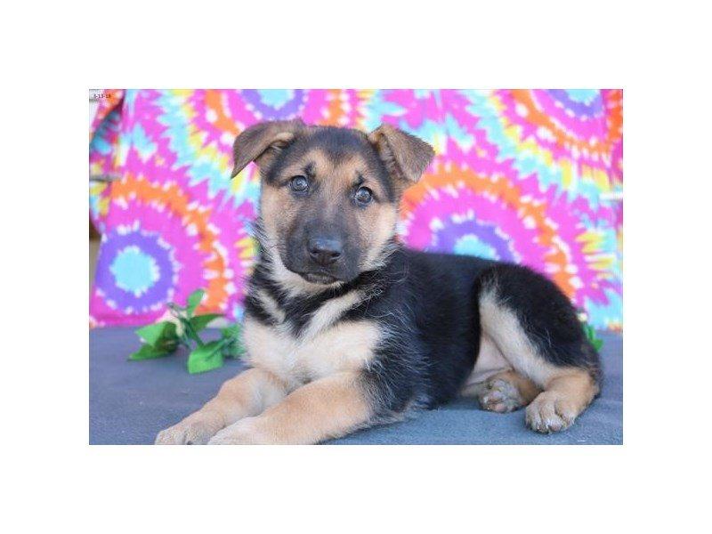 German Shepherd-DOG-Female-blk & tn-2033769-Petland Lewis Center