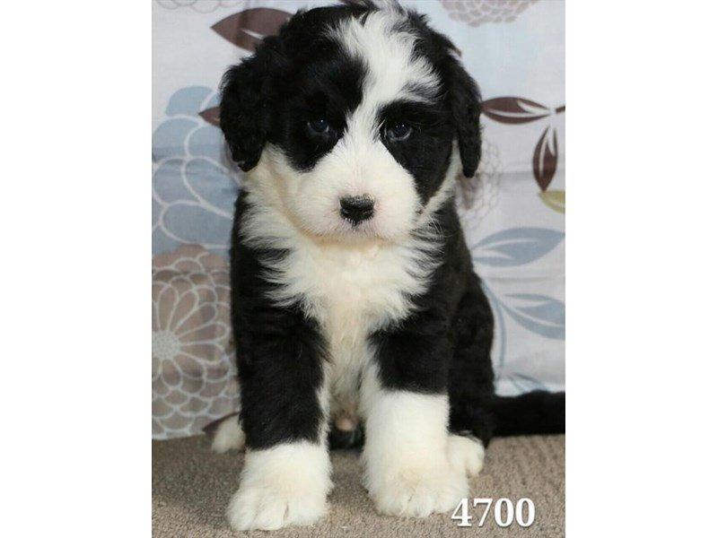Old English Sheepdogbernese Mountain Dog Dog Male Black