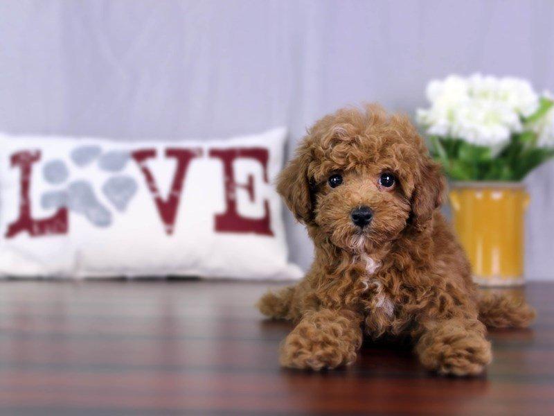 Miniature Poodle-Female-RD-2055275-Petland Lewis Center