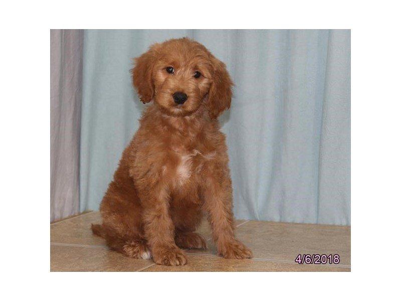 Goldendoodle-Female-Red Golden-2058931-Petland Lewis Center