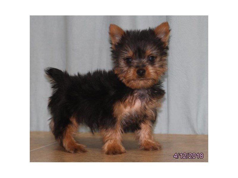 Silky Terrier-Male-Black / Tan-2064107-Petland Lewis Center