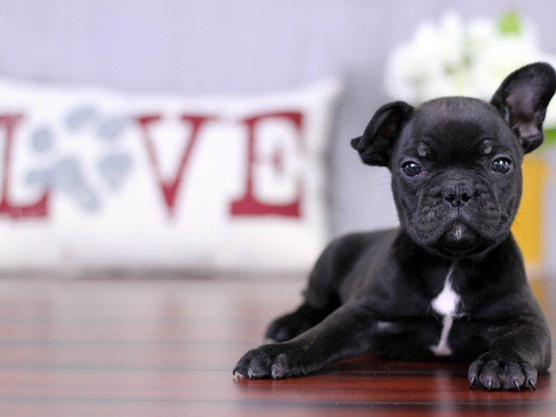 French Bulldog Dog Male Blk Brdl 2069351 Petland Lewis Center