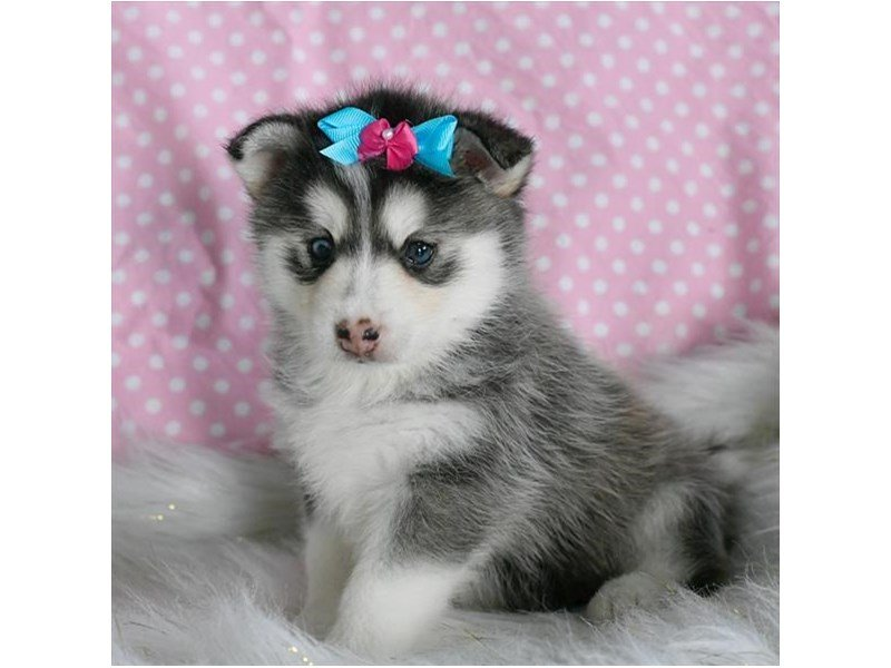 Come To Visit Our Pomsky Puppies For Sale Near Powell Ohio
