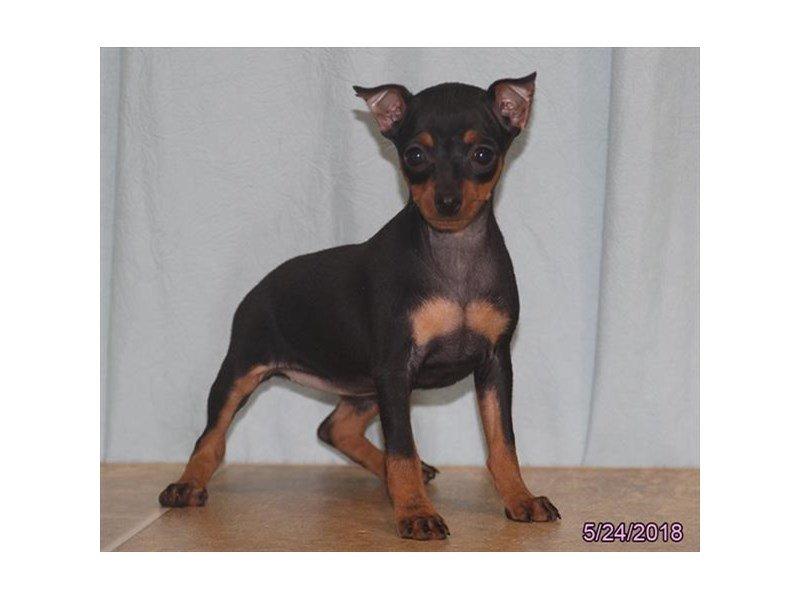 Miniature Pinscher-Female-Black / Tan-2093719-Petland Lewis Center