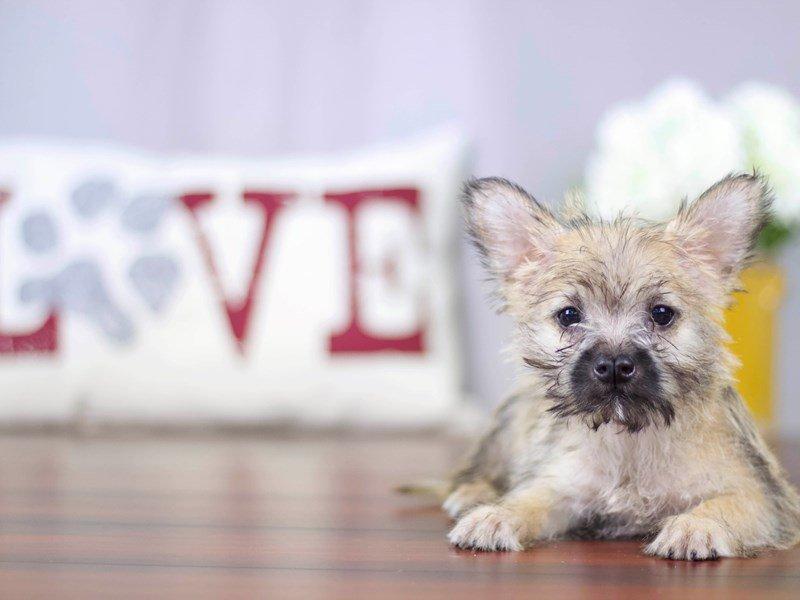 Cairn Terrier-Female-Wheaten-2109321-Petland Lewis Center