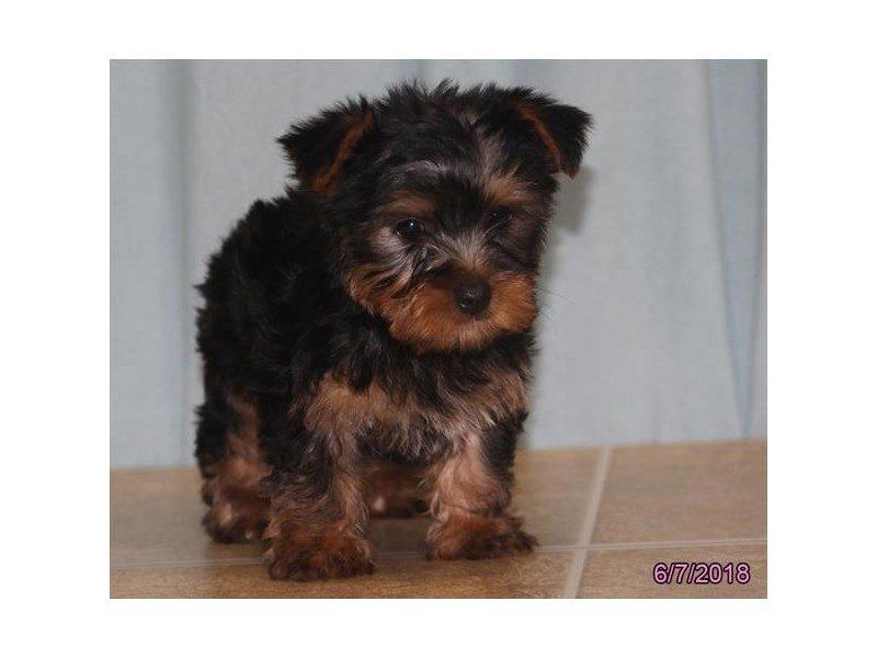 Silky Terrier-Male-Black / Tan-2103752-Petland Lewis Center