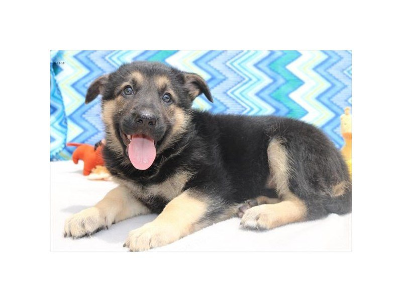 German Shepherd-Female-blk & tn-2107369-Petland Lewis Center