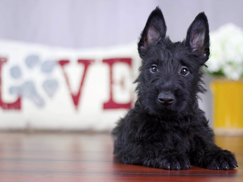 Scottish Terrier-Male-Black-2119732-Petland Lewis Center