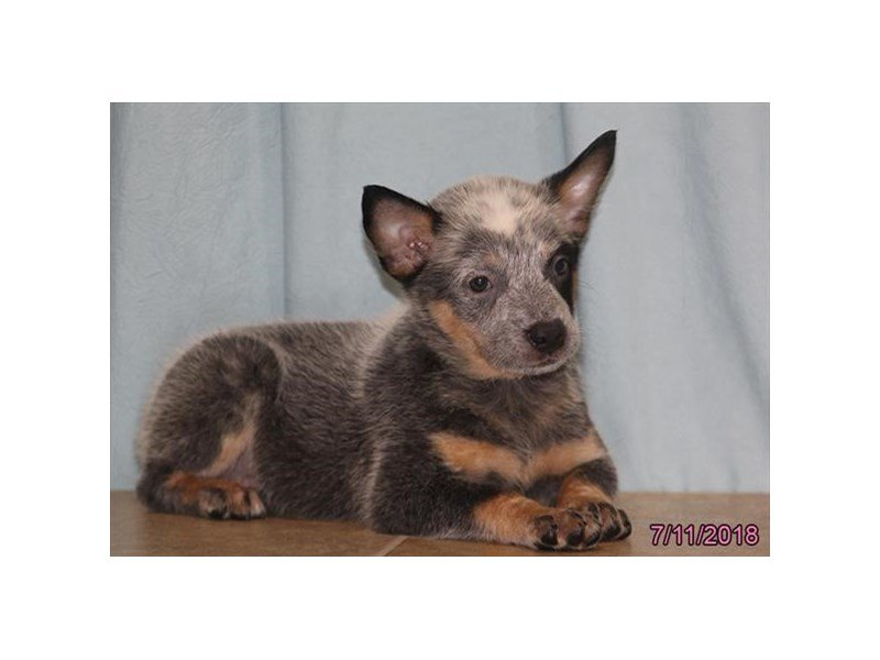 Australian Cattle Dog-Female-Blue-2129490-Petland Lewis Center