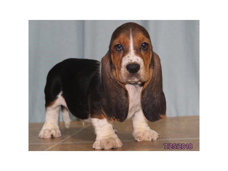 Basset Hound-Male-Tri-Colored-2139988-Petland Lewis Center