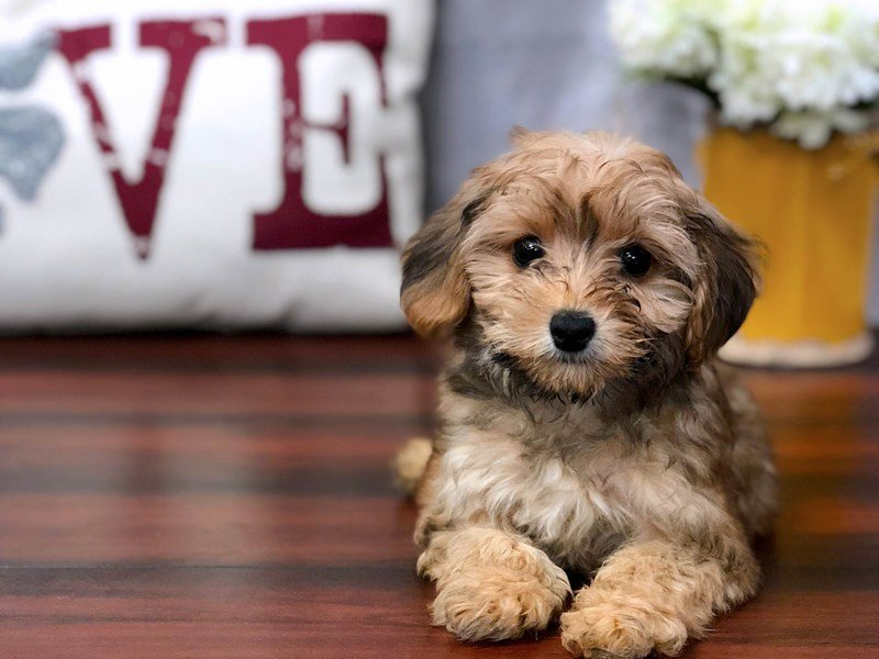 Yorkiepoo Puppies For Sale In Lewis Center Ohio Petland