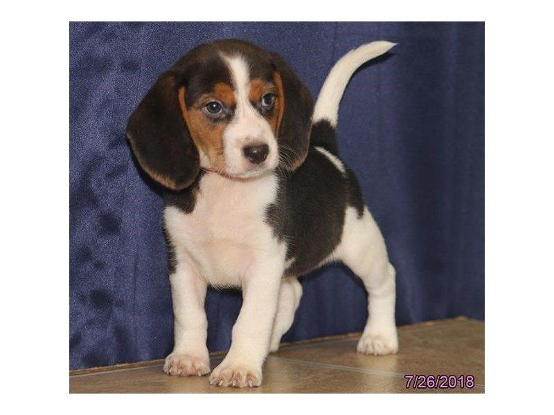 Beagle-Female-Tri-Colored-2139994-Petland Lewis Center