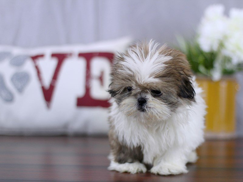 Visit Our Shih Tzu Puppies For Sale Near Delaware Ohio