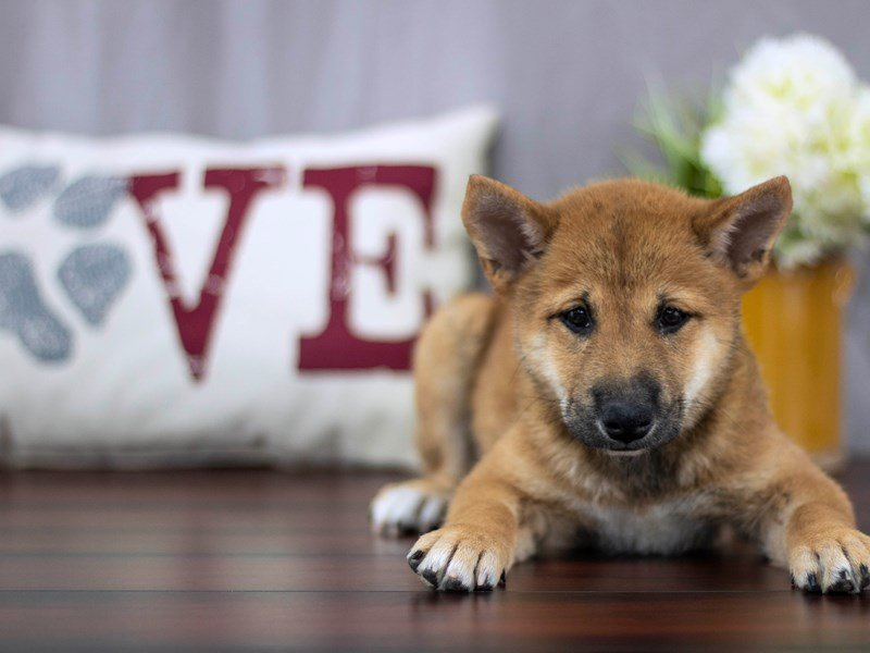 Visit Our Shiba Inu Puppies For Sale Near Westerville Ohio