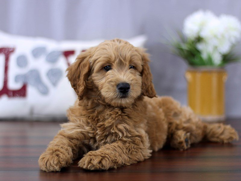 Visit Our Mini Goldendoodle Puppies For Sale Near