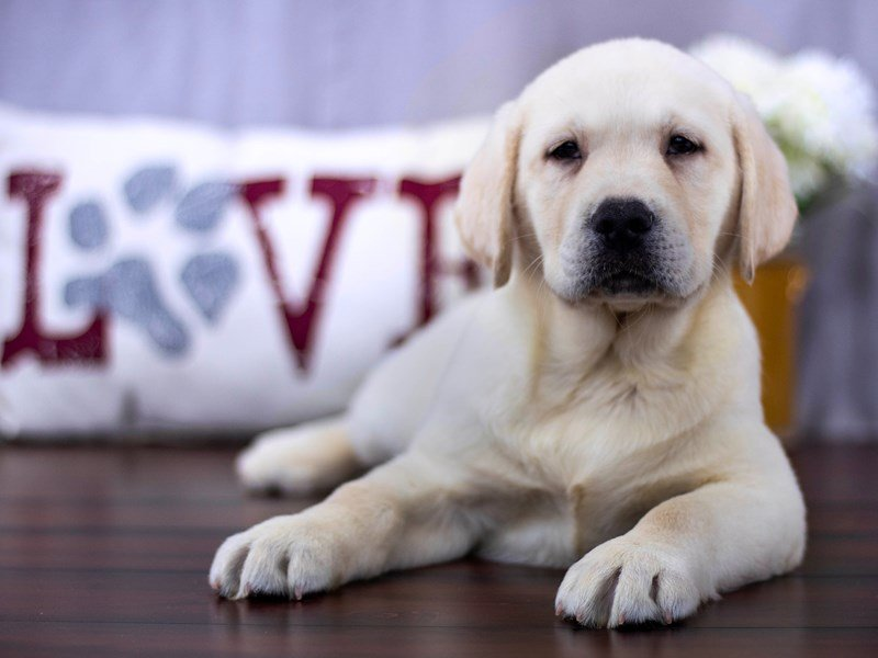 Visit Our Lab Puppies For Sale Near Delaware Ohio