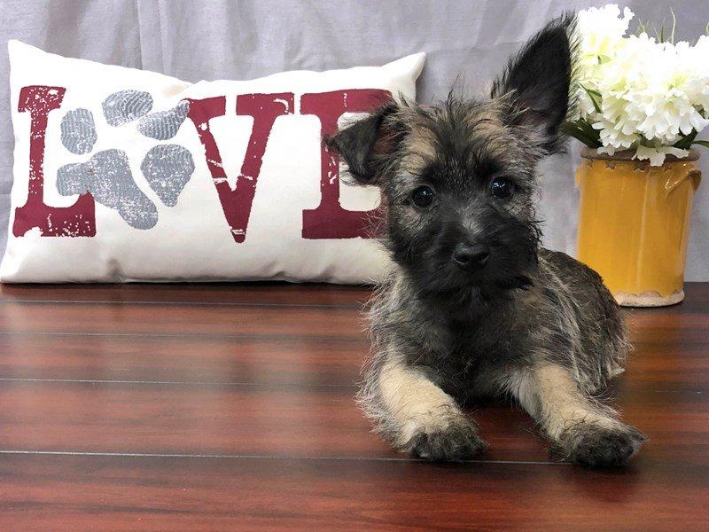 Cairn Terrier-Male-Wheaten-2170942-Petland Lewis Center