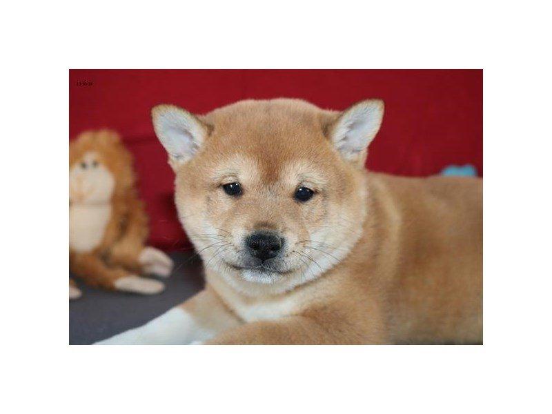Visit Our Shiba Inu Puppies For Sale Near Delaware Ohio