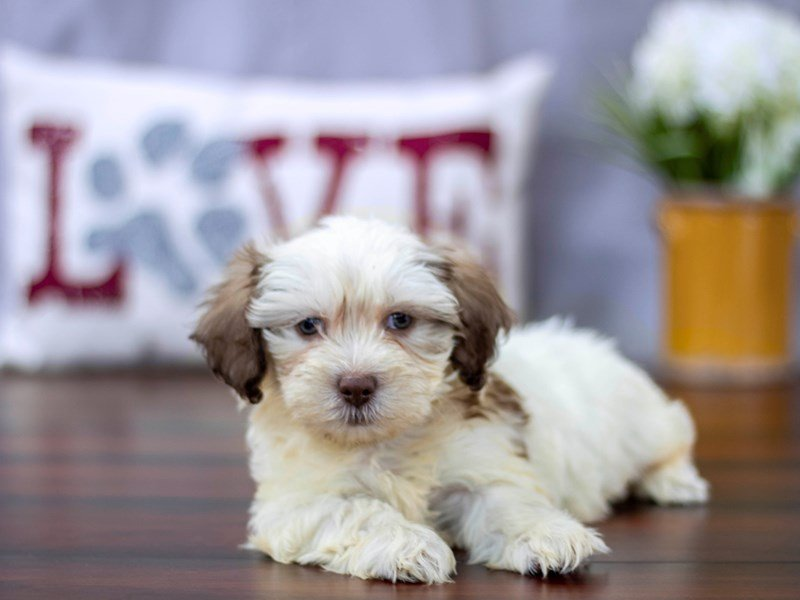 Shih Poo-Female-Chocolate / White-2194784-Petland Lewis Center