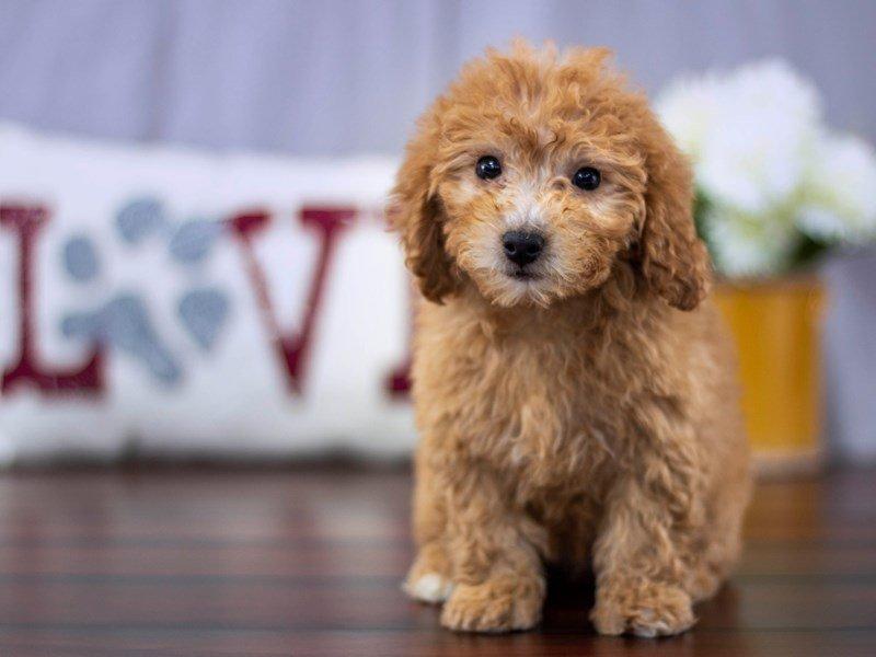 Miniature Poodle-Female-rd-2199460-Petland Lewis Center